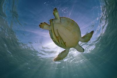 Green Turtle (Chelonia Mydas) with Rays of Sunlight, Akumal, Caribbean Sea, Mexico, January