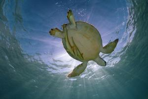 Green Turtle (Chelonia Mydas) with Rays of Sunlight, Akumal, Caribbean Sea, Mexico, January by Claudio Contreras