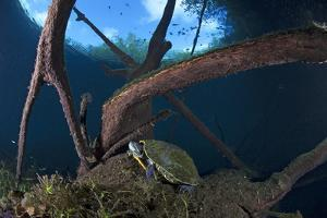 Mesoamerican Slider Turtle - Terrapin (Trachemys Scripta Venusta) in Sinkhole by Claudio Contreras