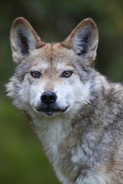 Mexican Wolf (Canis Lupus Baileyi), Mexican Subspecies, Probably Extinct In The Wild, Captive by Claudio Contreras