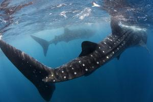 Whale Shark (Rhincodon Typus) Feeding View of Tail, Isla Mujeres, Caribbean Sea, Mexico, August by Claudio Contreras