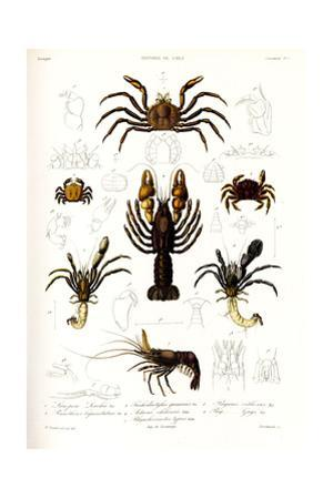 Crustaceos N1, Atlas de La Historia Física y Política de Chile, 1854