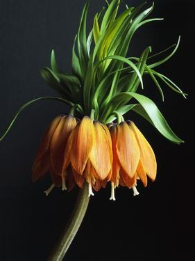 Crown Imperial by Clay Perry