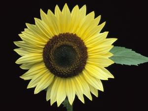 'Vanilla Ice' Sunflower by Clay Perry