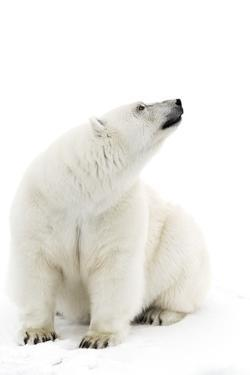A Polar Bear in the White of the Frozen Arctic Ocean, Svalbard, Norway by ClickAlps