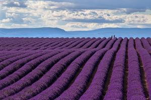 A wonderful day in valensole in purple waves of the sea, Valensole Plateau, Provence, Provence-Alpe by ClickAlps