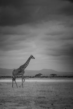 Amboseli Park,Kenya,Italy a Giraffe Shot in the Park Amboseli, Kenya, Shortly before a Thunderstorm by ClickAlps