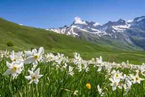 Blooming meadow of Narcissus at col du Lautaret in France by ClickAlps