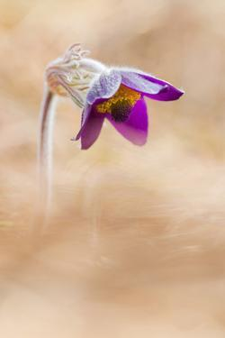 Brescia,Lombardy,Italy . The Pulsatilla is one of the first flowers blooming in the hills of Bresci by ClickAlps