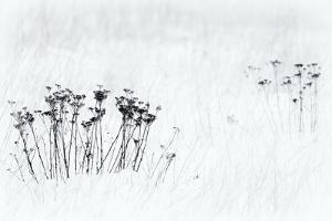 Orsiera Rocciavre Park, Chisone Valley, Piedmont, Italy. Stems in the snow by ClickAlps