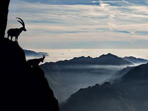 Two Alpine Ibex Dominate from Above the Spectacular View of the Italian Alps. by ClickAlps