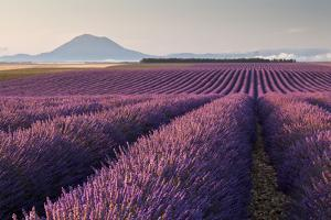 Valensole Plateau, Provence, France. Flowering Lavender at Dawn. by ClickAlps