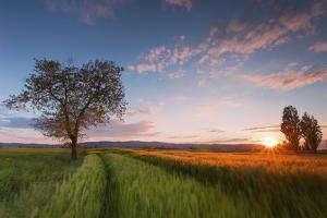Wheat Field at Sunset, Foligno, Umbria, Italy. by ClickAlps
