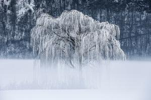 Willow, Frost and Fog in Valtellina, Lombardy, Italy by ClickAlps