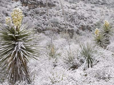 Torrey's or Great Yuccas (Yucca Torreyi) with Snow, Carlsbad Caverns National Park, New Mexico, USA