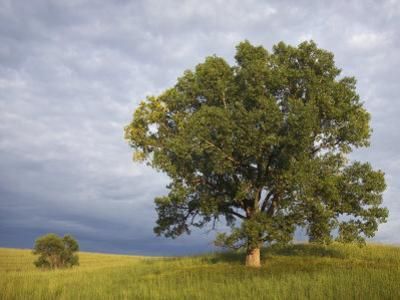 Two Cottonwood Trees in the Grassland of the Loess Hills, Iowa, USA