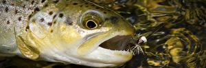 A Dry Fly Caught Brown Trout from a Small Mountain Stream in Utah in Late Summer. by Clint Losee
