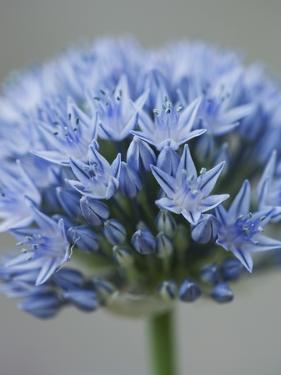 Allium flower by Clive Nichols