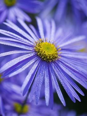Blue Aster by Clive Nichols