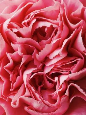 Close-Up of Pink Carnation by Clive Nichols