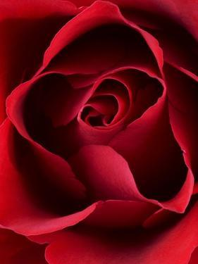 Close-up View of Red Rose by Clive Nichols