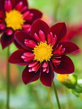 Dahlia Flower by Clive Nichols