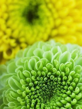 Green and yellow Chrysanthemums by Clive Nichols