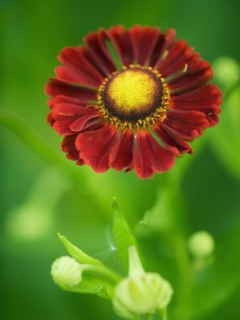 Helenium dunkelpracht by Clive Nichols