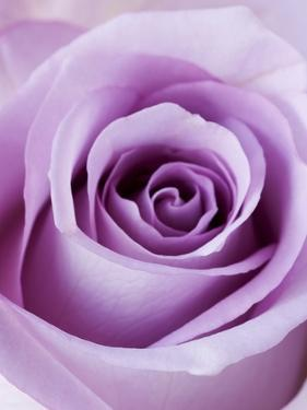 Light Purple Rose by Clive Nichols