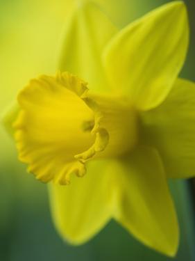 Narcissus Golden Harvest by Clive Nichols