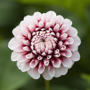 Pink Dahlia Tip Toe by Clive Nichols
