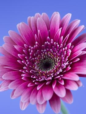 Pink Gerbera Daisy by Clive Nichols