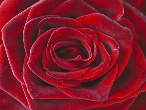 Rosa 'Baccara' Hybrid Tea Rose by Clive Nichols