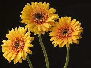 Three Gerbera Daisies on Dark Background by Clive Nichols