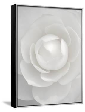White camellia by Clive Nichols