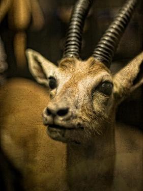 A Taxidermy Thomson's Gazelle by Clive Nolan
