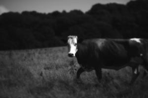 Cow in a Field by Clive Nolan