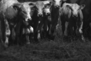 Cows in a Field by Clive Nolan