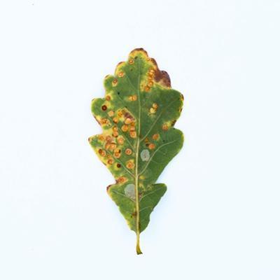 Single Oak Leaf