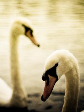 Two Swans Swimming on Lake by Clive Nolan