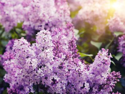 https://imgc.allpostersimages.com/img/posters/close-up-beautiful-lilac-flowers-with-the-leaves_u-L-Q103ALF0.jpg?artPerspective=n