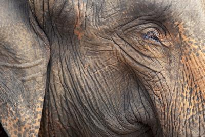 https://imgc.allpostersimages.com/img/posters/close-up-of-a-adult-elephant-s-elephantidae-head-and-crinkled-skin_u-L-PQ8PCN0.jpg?p=0