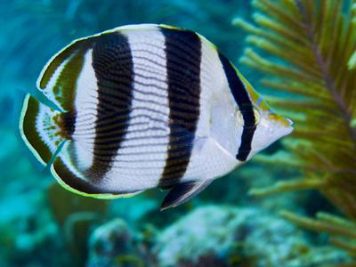 https://imgc.allpostersimages.com/img/posters/close-up-of-a-banded-butterflyfish_u-L-PJ39K30.jpg?artPerspective=n