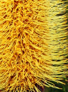 Close-Up of a Banksia in Bloom, Sydney, New South Wales