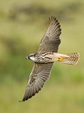 Close-up of a Lanner Falcon Flying, Lake Manyara, Arusha Region, Tanzania