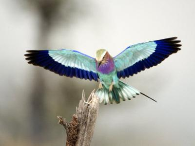 Close-Up of a Lilac-Breasted Roller, Tarangire National Park, Tanzania