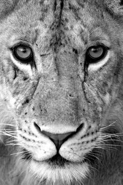 Close-up of a lioness (Panthera leo), Tarangire National Park, Tanzania