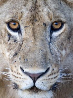 Close-Up of a Lioness, Tarangire National Park, Tanzania