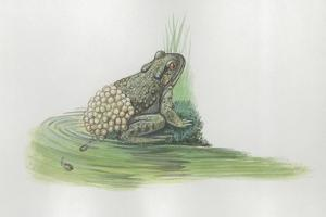 Close-Up of a Midwife Toad Deposits Eggs in Water