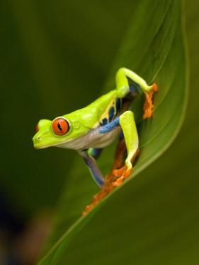 Close-Up of a Red-Eyed Tree Frog Sitting on a Leaf, Costa Rica